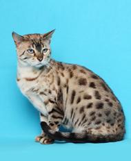 Na jeho vývoj si vybrala divokú bengálsku mačku a čierneho domáceho  krátkosrstého kocúra. db56fad3e8e